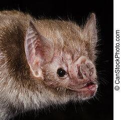 commun, bat., vampire