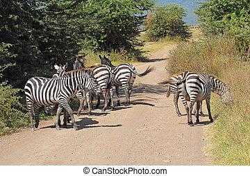 commun, long, zèbres, route, troupeau