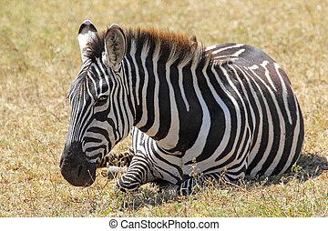 commun, mensonge, zebra