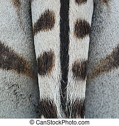 commun, peau, zebra