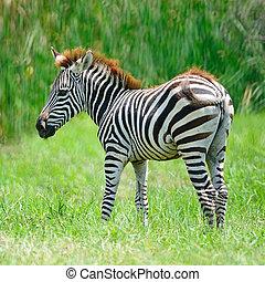 commun, zebra