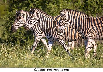 commun, zebra, trois