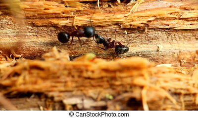 communication of two insects ants macro - insect ant and his...