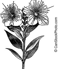 communis, myrtus, vendimia, ilustración, mirto, grabado, o