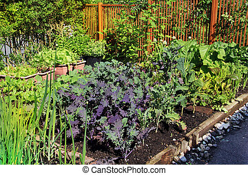 Community vegetable garden plot growing organic lettuce,...