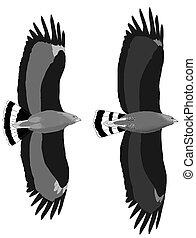 comparaison, deux, black-hawks