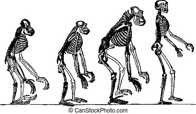 Compared skeletons of the orang, chimpanzee, gorilla and man, vintage engraving.