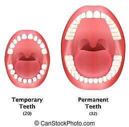 comparer, permanent, temporaire, dents