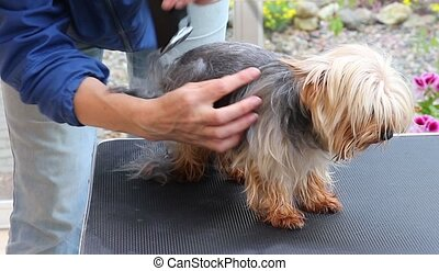 Complete grooming of Yorkshire terrier - Footage is showing...