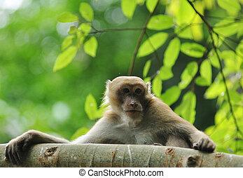 comportamenti, natura, selvatico, macaques, scimmia