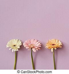 composición, de, tres, gerberas, en, un, papel rosa, plano de fondo