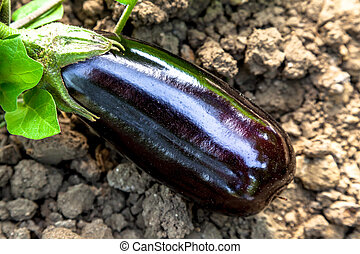 Eggplants - Composition of Eggplants with soil background in...