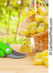 composition of fresh white grape in wicker basket and secateurs