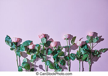 Composition of pink roses with shadows on a purple background