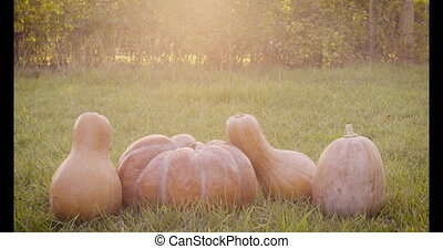 Composition of several pumpkins in the garden on green grass...