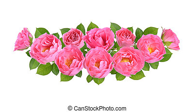 Composition with Pink rose flowers. Isolated on white background