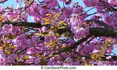 composition with pink sakura flowers - Harmony of nature...