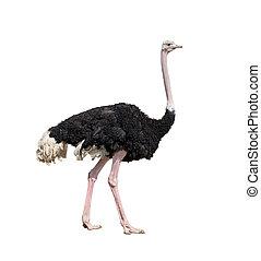 comprimento, cheio, isolado, branca, avestruz