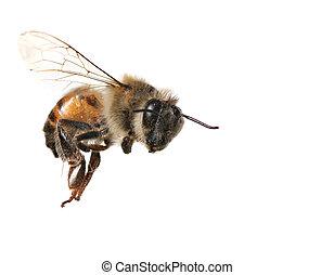 comum, abelha doméstica, branco, fundo