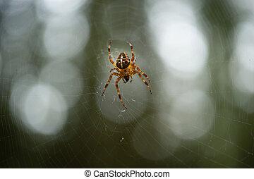 comum, floresta, aranha, voltas, teia, em, a, madeiras