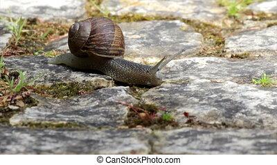 Comum Garden Snail crawling
