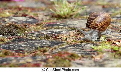Comum Garden Snail crawling E - Active garden snail crawling...