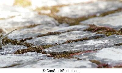 Comum Garden Snail crawling G - Active garden snail crawling...