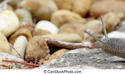 Comum Garden Snail crawling H2 - Active garden snail...