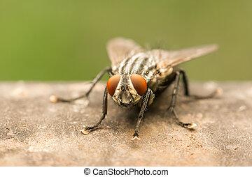 comune, mosca domestica