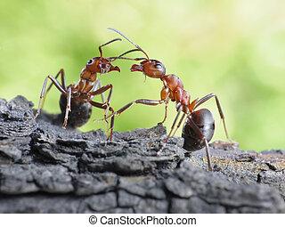 comunicación, diálogo, enlaces, hormigas