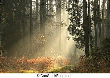 conífero, amanecer, bosque