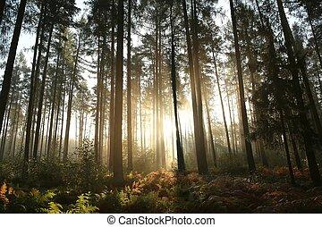 conífero, bosque, en, salida del sol