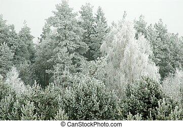 conífero, bosque, helado