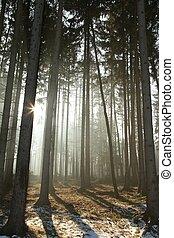 conífero, bosque, mañana