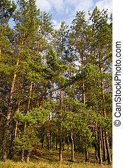 conífero, bosque, naturaleza