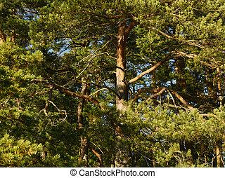 conífero, bosque