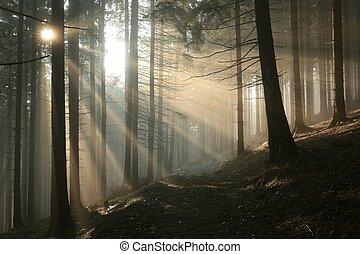 conífero, bosque, salida del sol