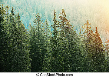conífero, lit, bosque verde, luz del sol