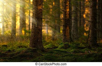 conífero, mañana, bosque, verano