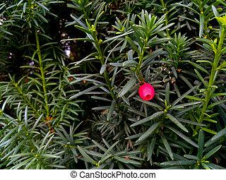 conífero, planta, ramas, baccata, rojo verde, bayas, taxus