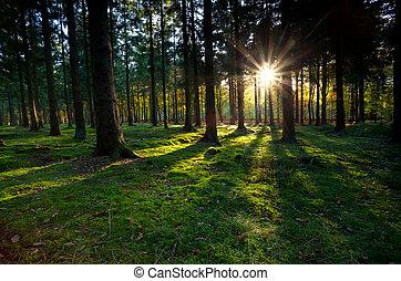 conífero, rayos de sol, bosque, oro