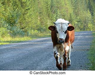 conífero, vaca, nature., forest., alanga., rusia, paisaje