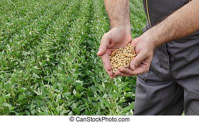 conceito, colheita, campo, feijão, agricultor, soja