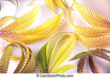 conceito, coloridos, folhas, -, isolado, marijuana, cannabis, fundo, médico