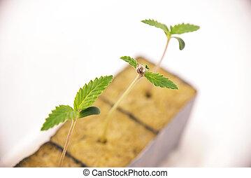 conceito, médico, ou, -, marijuana, isolado, cedo, cannabis, crescimento, brotos, branca, fases, sobre