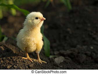 Concentrated little chicken - Concentrated little yellow...