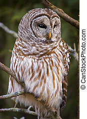 Concentration - Barred Owl; Strix varia. Wild bird. Woods,...