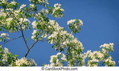 concept blossoming and renewal. Blooming apple tree in spring, fresh white flowers.