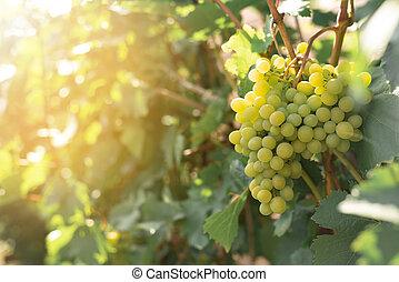 concept, branche, mûre, vigne, raisins, winemaking., tas, jardin