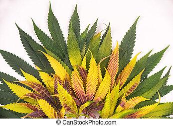 concept, coloré, feuilles, -, isolé, marijuana, cannabis, fond, monde médical